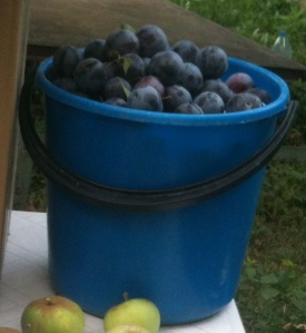 Plums for sale.