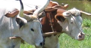 Oxen in a yoke.