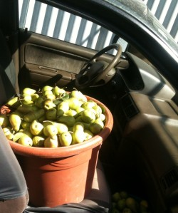 Pears in car