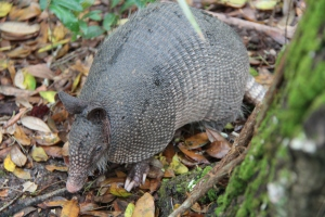 I had never seen an armadillo before, so it was quite something to see two of them scurrying around the trees.